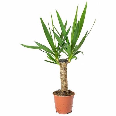 Dracaena Yucca Elephantipes 40 cm