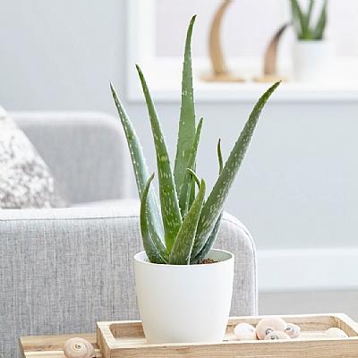 Aloe Vera - Barbados Aloe 35 cm