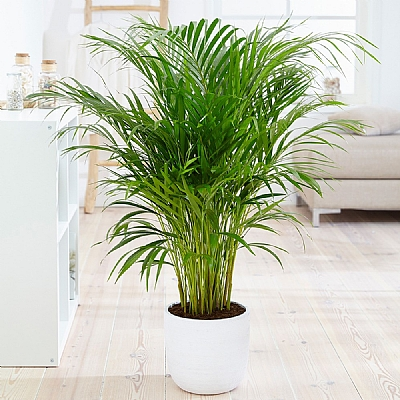 Areca Palm Dypsis Lutescens 100 cm
