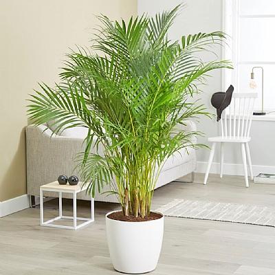 Areca Palm Dypsis Lutescens 150 cm