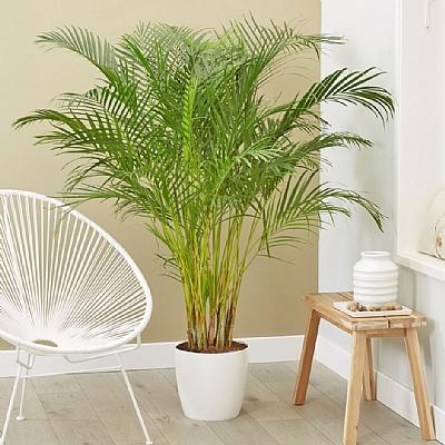 Areca Palm Dypsis Lutescens 200 cm