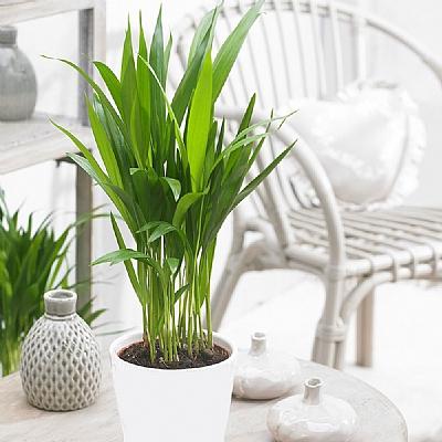 Areca Palm Dypsis Lutescens 30 cm