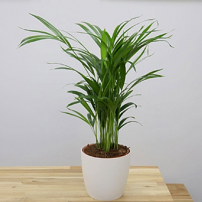 Areca Palm Dypsis Lutescens 60 cm