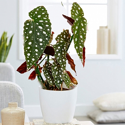 Begonia Maculata - 40 cm