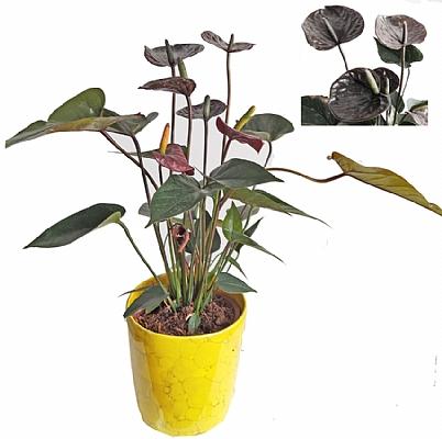 Siyah Antoryum Bitkisi