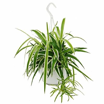 chlorophytum Green Lily