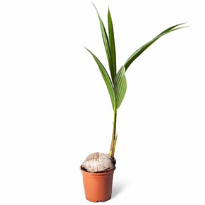 Cocos Nucifera - Cocos Palmiyesi 90 cm