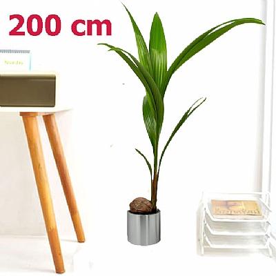 Cocos 200 cm Dev Boyutda