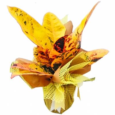 Kraton Bitkisi  Codiaeum variegatum