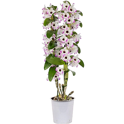 Dendrobium Orkide Benekli