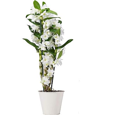 Dendrobium Orkide Beyaz