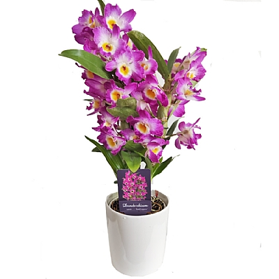 Mor Dendrobium Orkide 40 cm 3 Dal