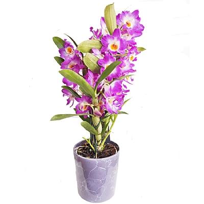 Mor Seramikte Dendrobium Orkide 40 cm 3 Dal