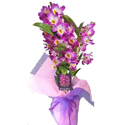 Mor Kokulu Dendrobium Orkide