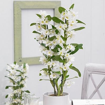 Beyaz Dendrobium Orkide