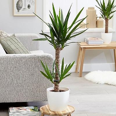 Dracaena Yucca Elephantipes 60 cm - Seramik Dahil