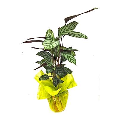 Calathea Ctenanthe Dua Çiçeği 50 cm
