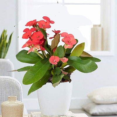 Euphorbia milii - Dikenler Tacı