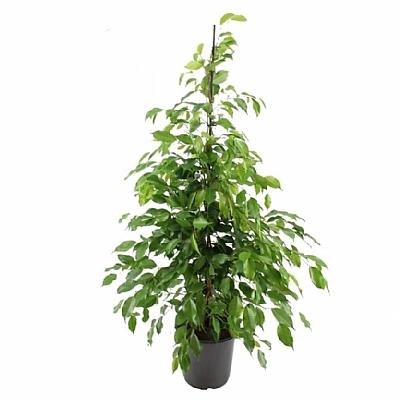 Ficus Benjamina Danielle 80 cm