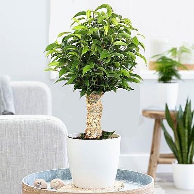 Benjamin Ficus benjamina Kinky 30 cm