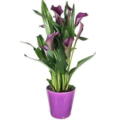 Mor Gala Çiçeği