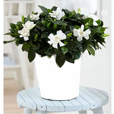Kokulu Gardenya Çiçeği