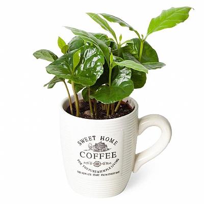 Özel Seramikte Kahve Çiçeği Ağacı