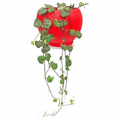Kırmız Saksıda Ceropegia Woodii Kalp Kalbe Çiçeği