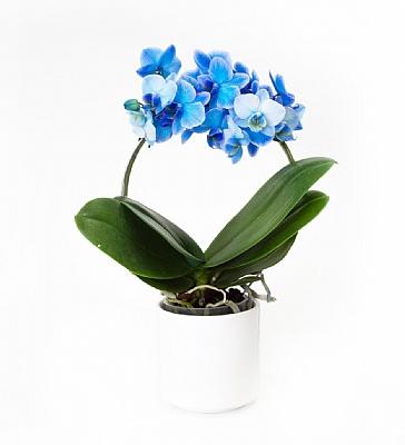 Mavi Yay Burgulu Orkide 30 cm