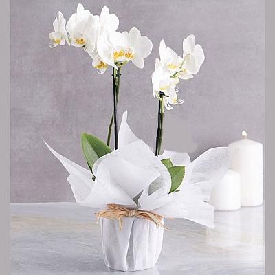 Orkide 2 Dal Beyaz