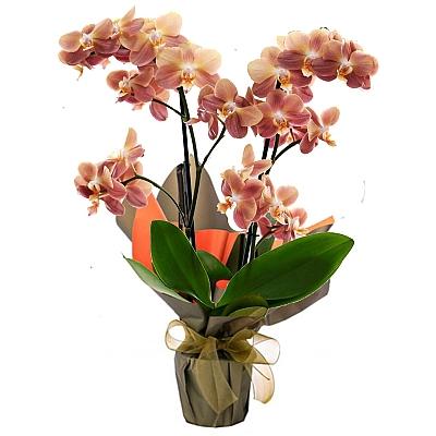 phalaenopsis Monaco Orkide 50 cm