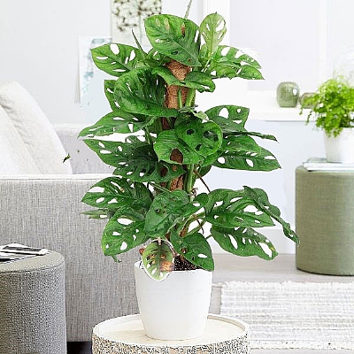 Deve Tabanı Monstera Monkey Leaf 70 cm