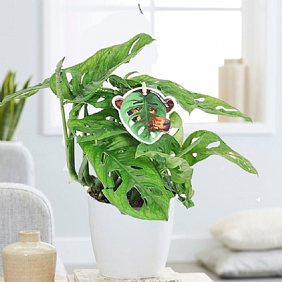 Monstera Obliqua Monkey Mask 25 cm