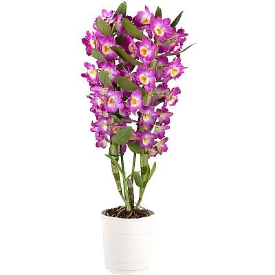 Dendrobium Orkide Mor