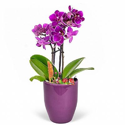 Mor Seramikte Mini Mor Orkide