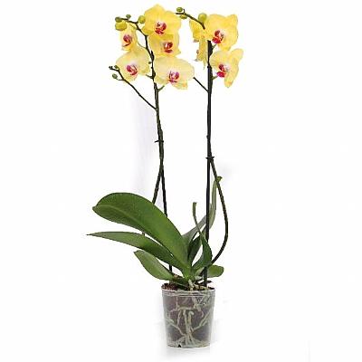 Phalaenopsis Mira Flore