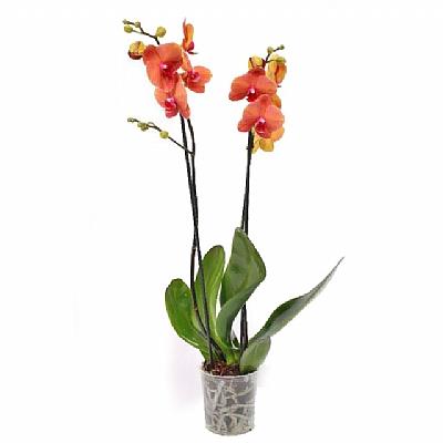 Phalaenopsis Surf Song
