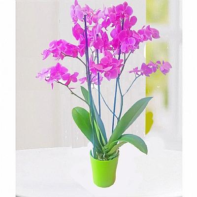 Jumbo Bol Çiçekli Orkide