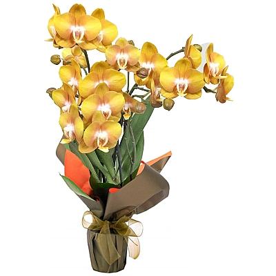 Phalaenopsis Las Vegas Orkide