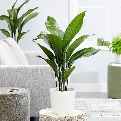 Aspidistra elatior - iron plant - 55 cm