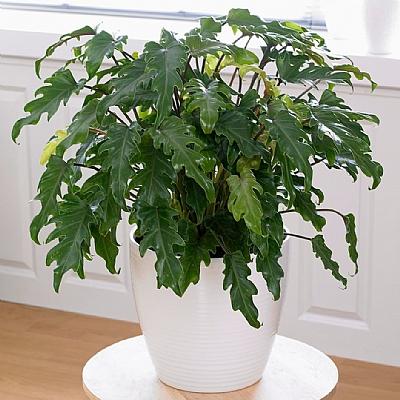 Philodendron xanadu - 60 cm