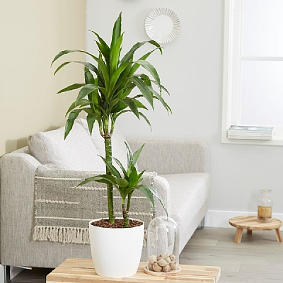 Dracaena fragrans - Janet Craig - dragon tree - 90 cm