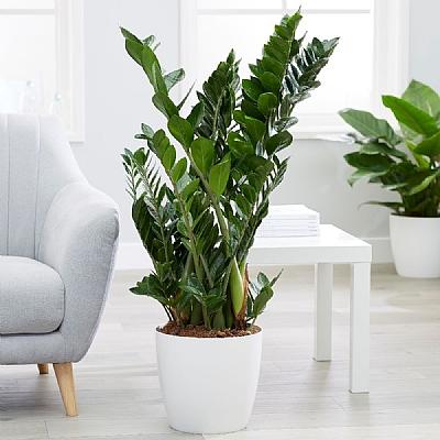 Zamioculcas zamiifolia - 100 cm