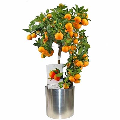 Portakal Ağacı Büyük Boy 60 cm