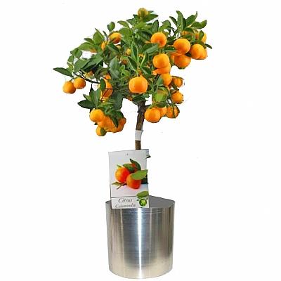 Portakal Ağacı Orta Boy 45 cm