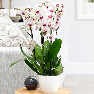 Mor Benekli Orkide 4 Dal