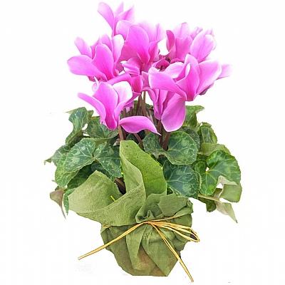 Siklamen Çiçeği Cyclamen Plant