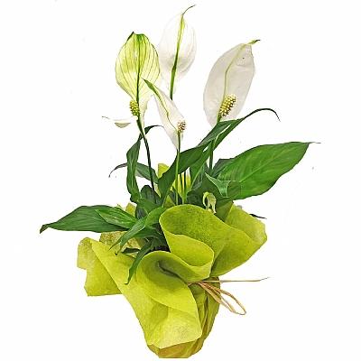 Spatifilyum Barış Çiçeği Spathiphyllum Bellini 40- 50 Cm