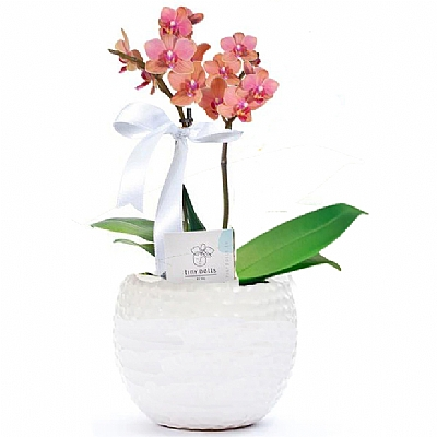 Mini Turuncu Orkide