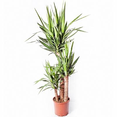 Dracaena Yucca Elephantipes 3 Kök 90 cm